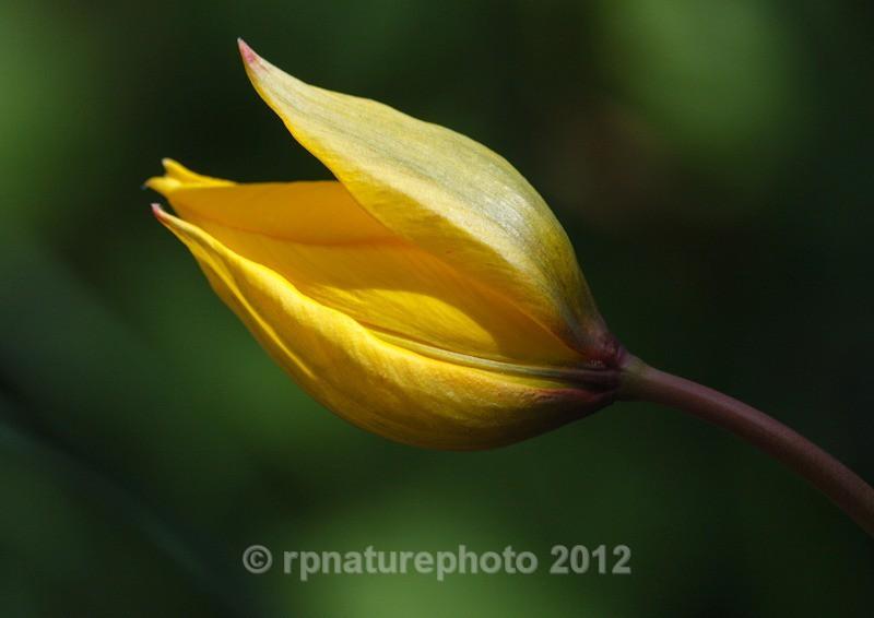 Woodland Tulip -Tulipa sylvestris RPNP0696 - Flowers