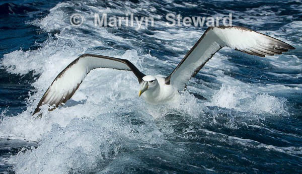 White-capped albatross take-off - Exhibition acceptances