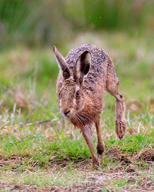 brown-hare-running-otmoor-rspb