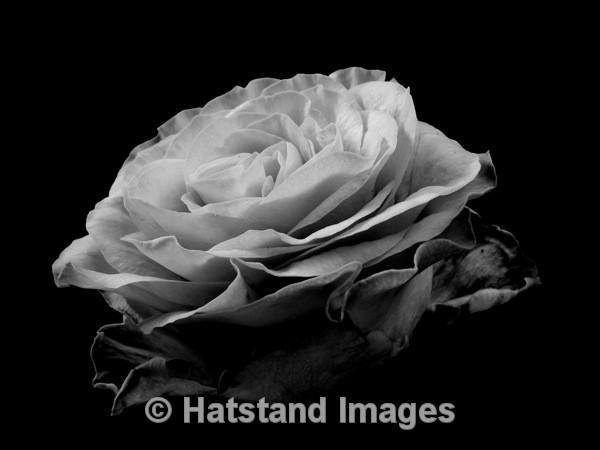 Rose - nature