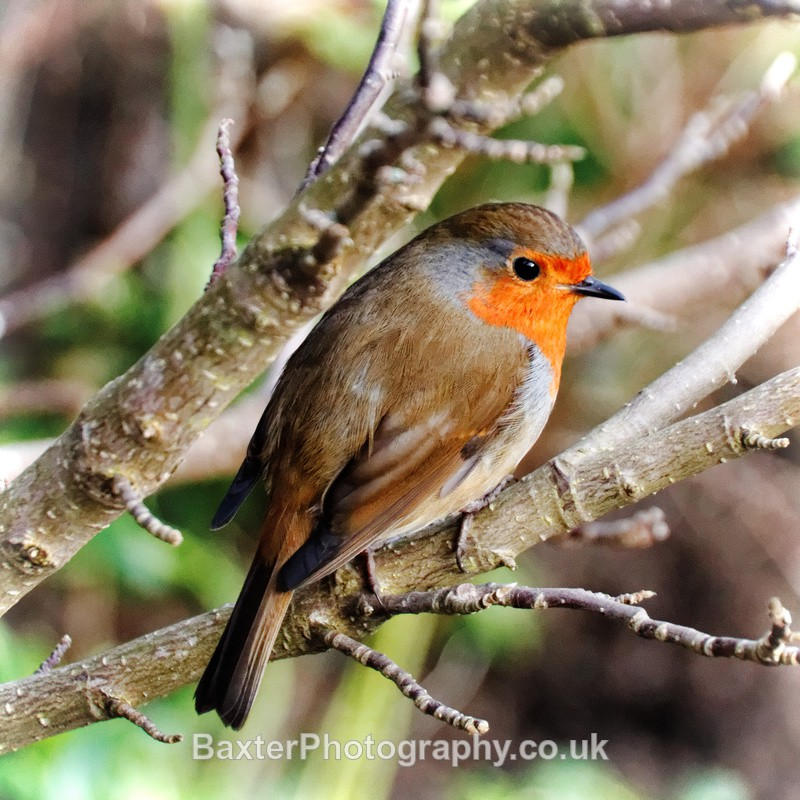 Robin Red-Breast - Miscellaneous