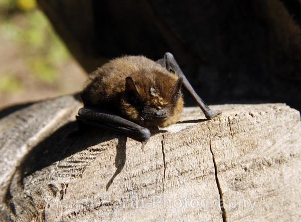 Pipistrelle 3 - UK Wildlife