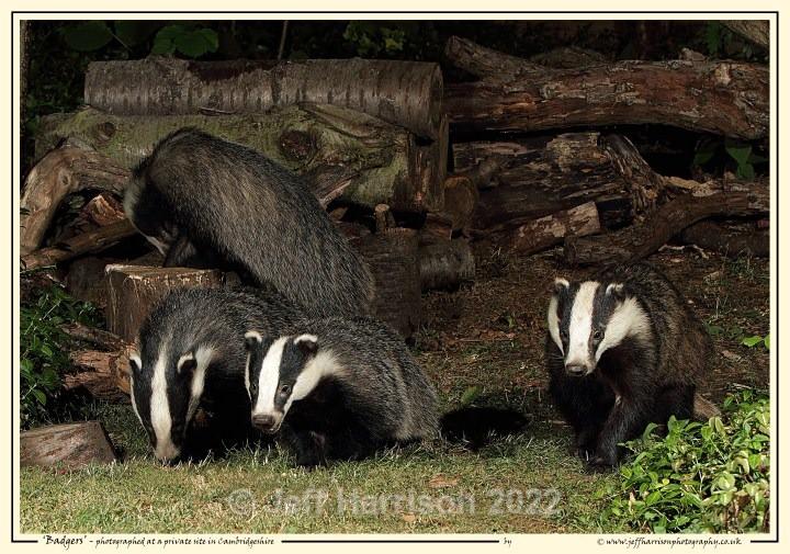 4 Badgers (image Badg 005) - Mammals