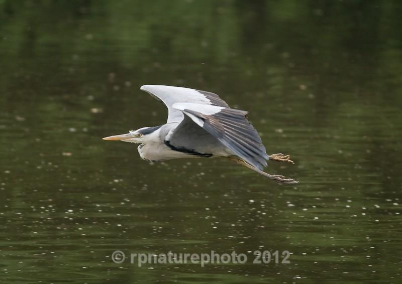 Grey Heron - Ardea cinerea RPNP0082 - Birds