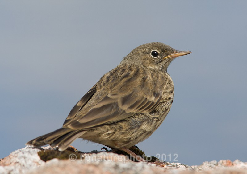 Rock Pipit - Anthus petrosus RPNP0095 - Birds