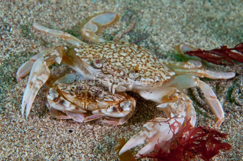 Liocarcinus marmoreus crab with mate - Behaviour observations