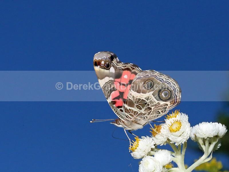 American Lady - Butterflies & Moths of Atlantic Canada