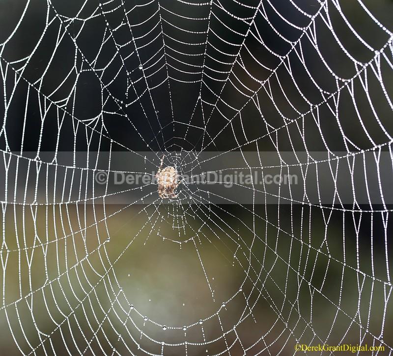 Araneus diadematus Web Maestra - Spiders of Atlantic Canada