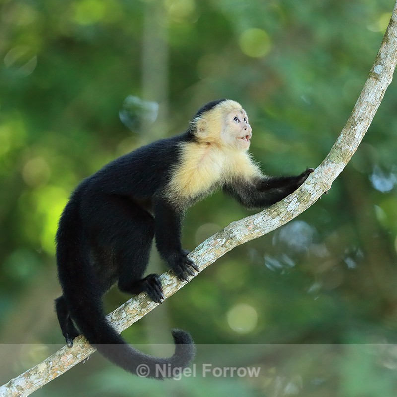 White-throated Capuchin climbing, Panama - Monkey