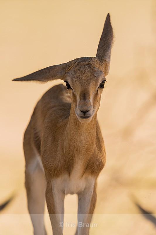 Twisted Ear - Antelope