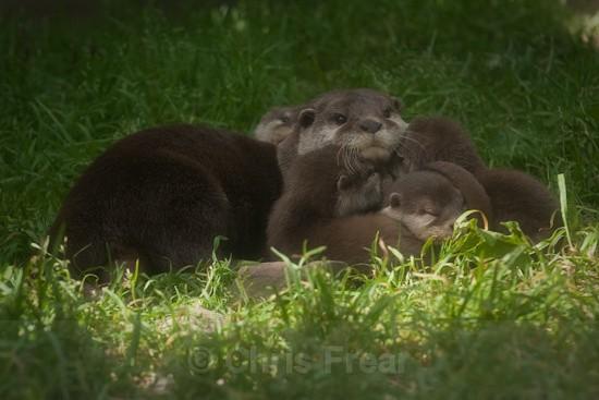 3 - Otters