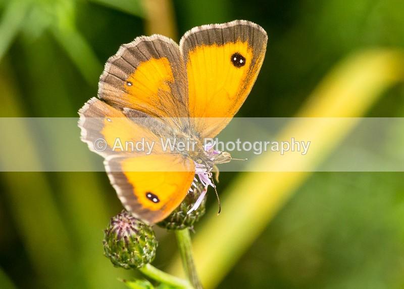 20160726-3K8A5979 - Butterflies & Moths
