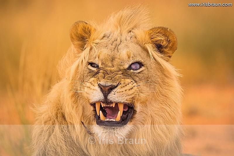 One-eyed Lion - Lion