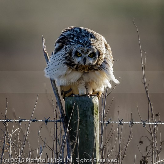 Short-eared Owl (Asio flammeus) on post - Short-eared Owl (Asio flammeus)