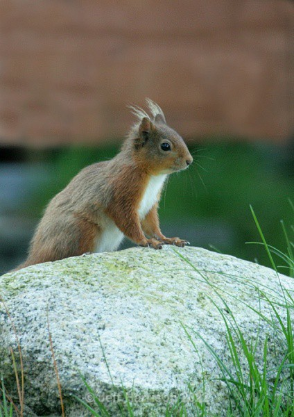 Red Squirrel (RS 04) - Mammals