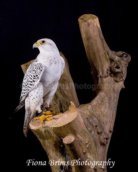birds studio-35 - Birds of Prey