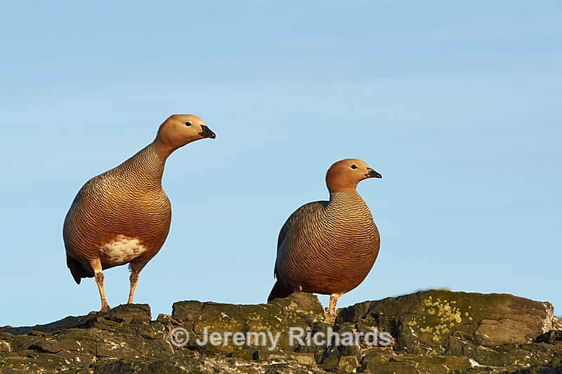 Ruddy Headed Geese - Bleaker Island
