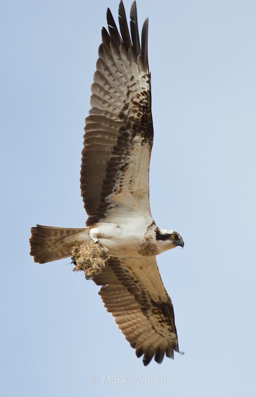 Osprey - Birds of prey & owls