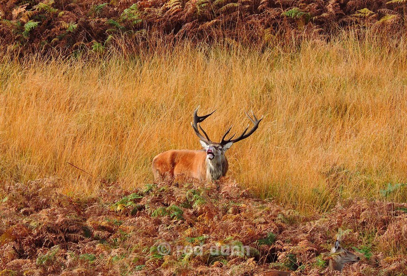 Red Deer Stag - New Images