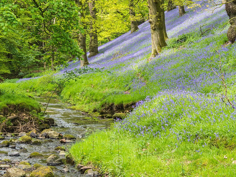 Bluebell Wood - Lake District