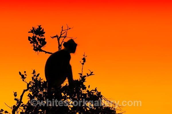 Monkey Tree at Sunset - Wildlife and Animals: Art
