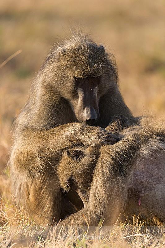 Delousing - Baboon
