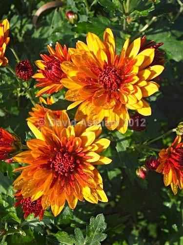 Chrysanthemums - Autumn