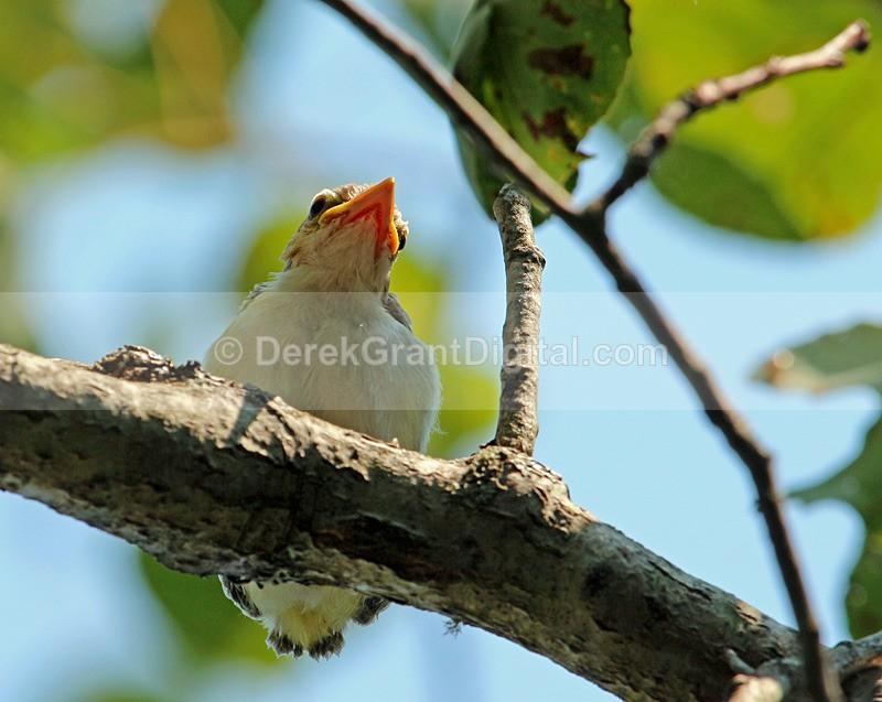 Red-eyed Vireo Chick - Birds of Atlantic Canada