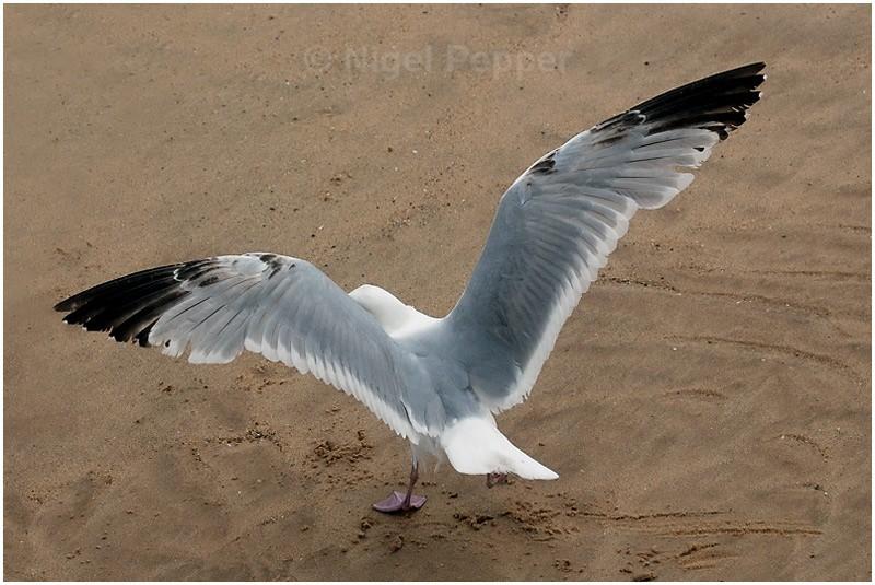 June 5th 2008 ( 2 ) - Leggy the Herring Gull