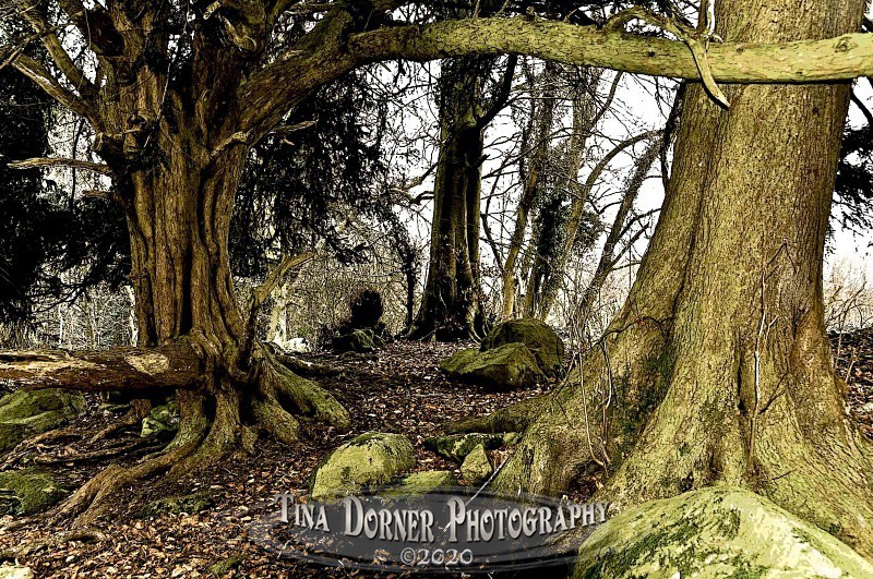 Yew tree trunks at Devils Pulpitt from Autumn Forest of Dean and Wye Valley Portfolio by Tina Dorner Photography