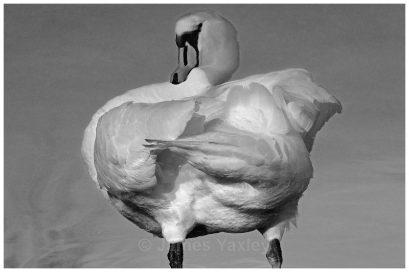 Mute Swan Reflection - Echoes of Narcissus - Best of British Wildlife