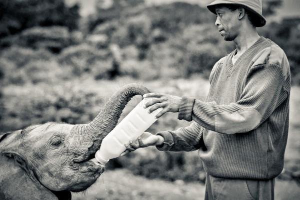Elephant, Orphan, David Sheldrick Wildlife Trust, Nairobi, Kenya