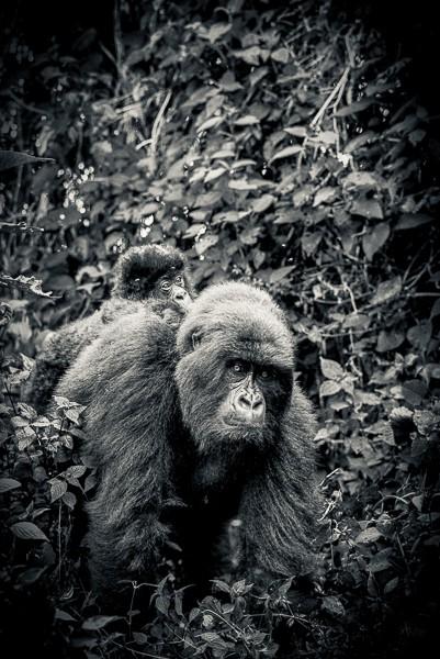 Mountain Gorilla. Democratic Republic of the Congo