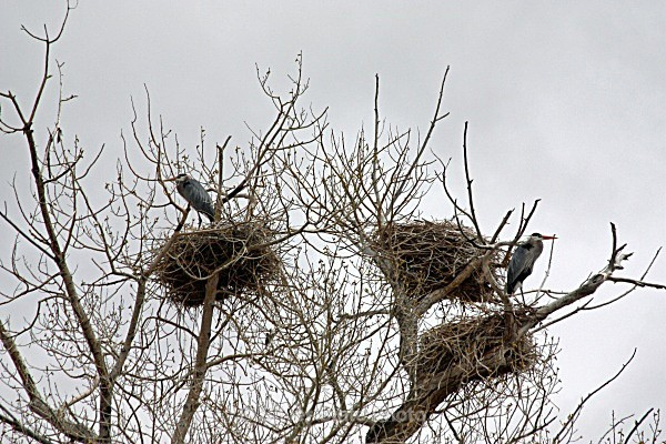 Nesting Great Blue Herons - Nevada Birds