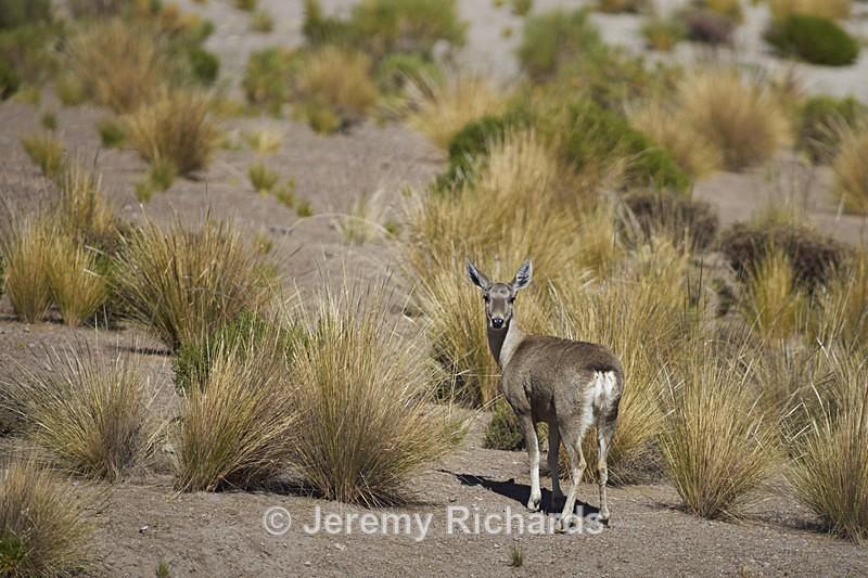 North Andean Deer - Wildlife of Chile