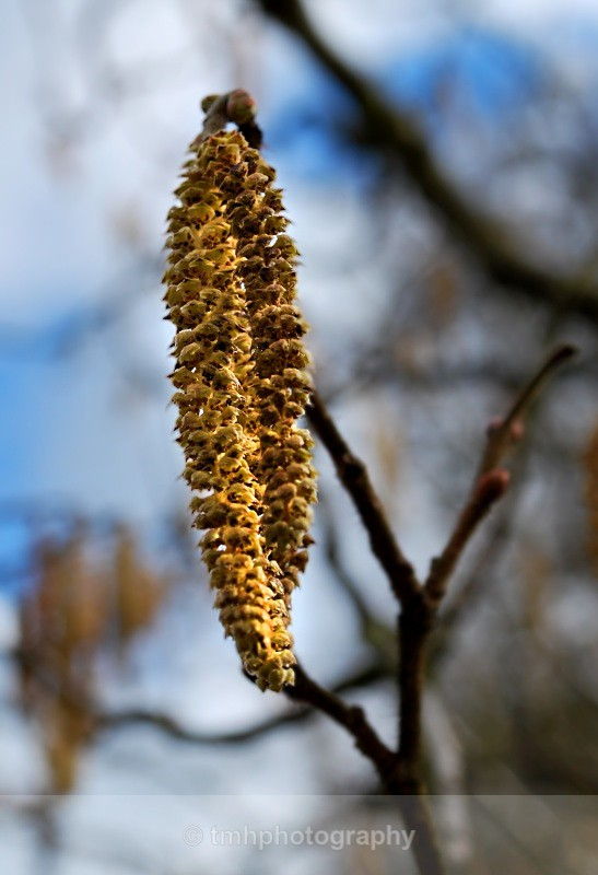 Catkin on Branch - Creative Scenery