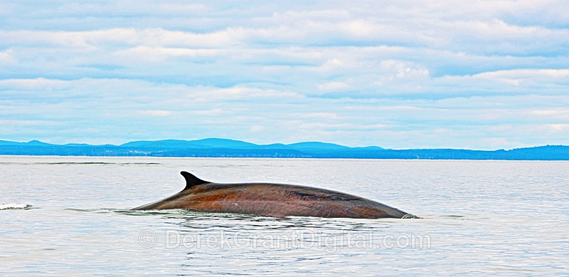 Finback Whale Balaenoptera physalus - Bay of Fundy Whales