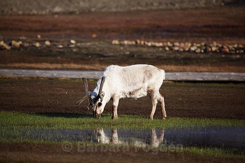 Reindeer 7257 - Wildlife