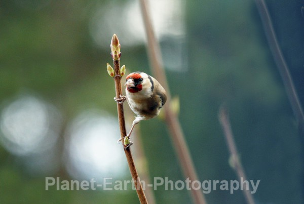 Goldfinch 9 - UK Wildlife