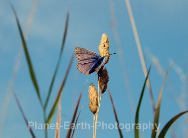 Common Blue - Flora and Fauna
