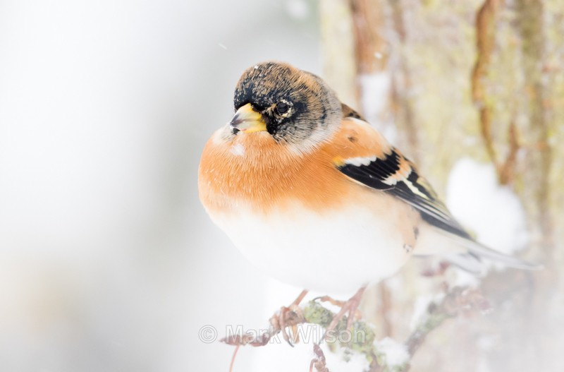 Brambling (m) - Garden birds