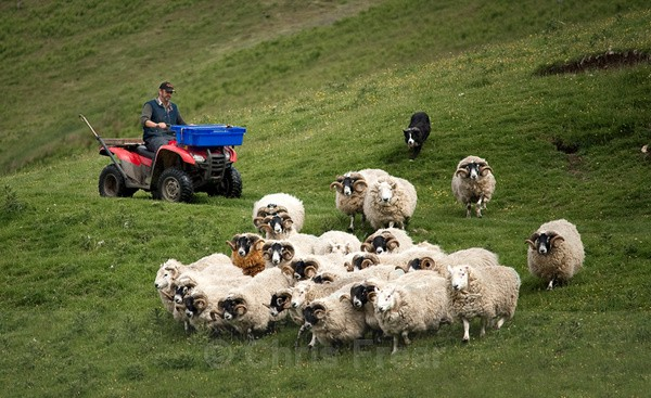 Gathering the Flock - Farming/Agriculture