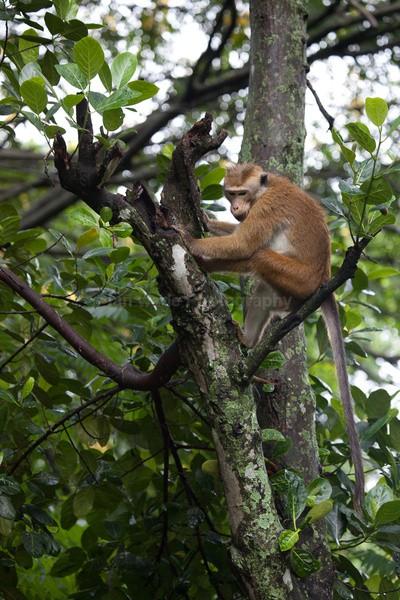 Macaque Monkey in Jungle in Ella Sri Lanka 19 - Sri Lanka wildlife, people & places