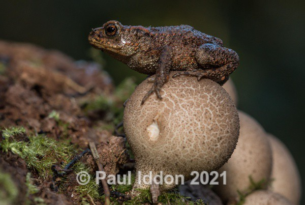 Toad on a Toadstool - Macro
