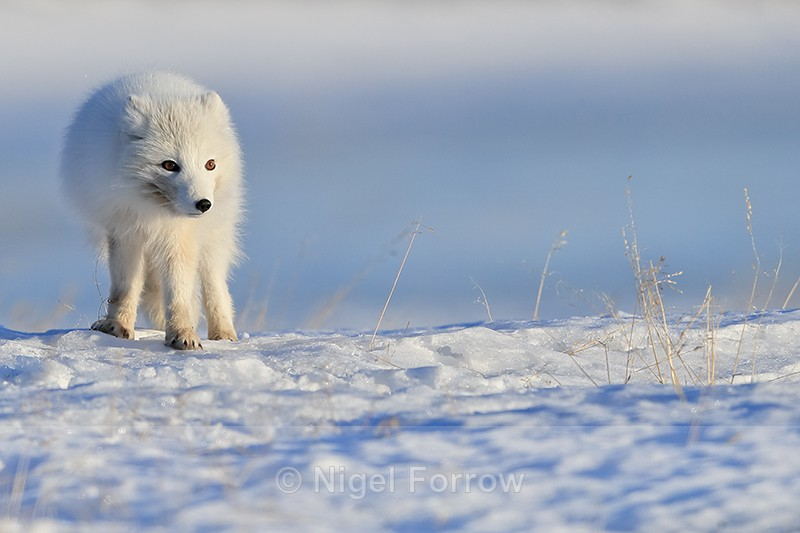 White Arctic Fox, late afternoon, Svalbard, Norway - Arctic Fox