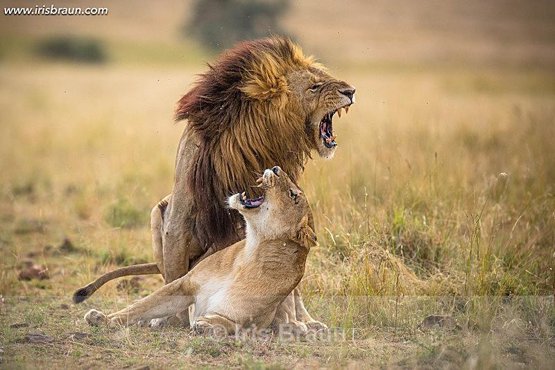 Lions Love II - Lion