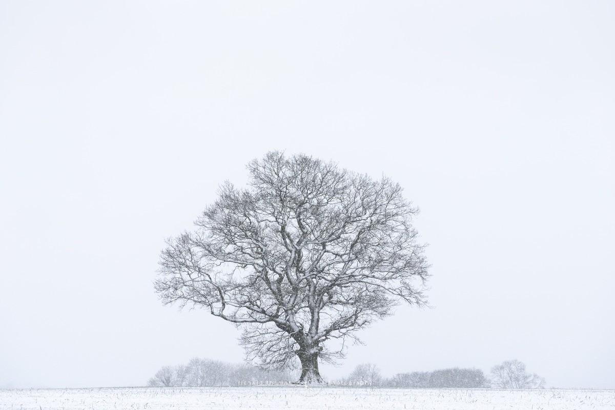 Oak in a snowstorm - WINTER