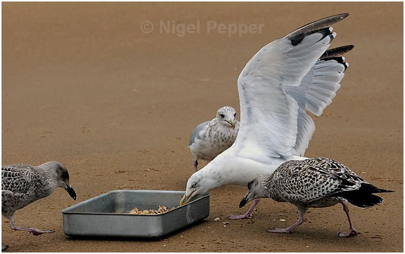 Feeding Time ( 4 ) - Leggy the Herring Gull