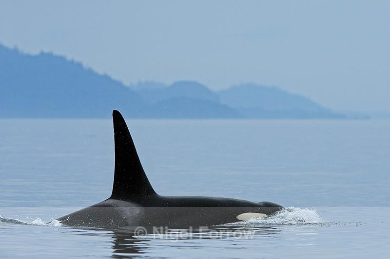 Orca (male), Johnstone Strait, Canada - Dolphin