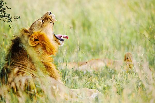 Lion, Nairobi National Park, Kenya